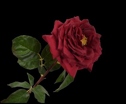 ROOS STEEL ROOD 70 cm