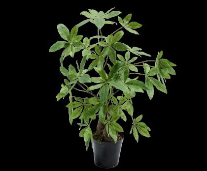 SCHEFFLERA  GREEN  122 CM