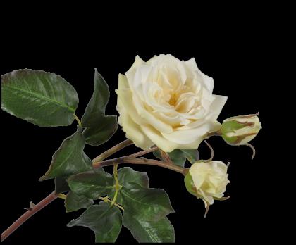 ROOS STEEL GEEL LT 55 cm