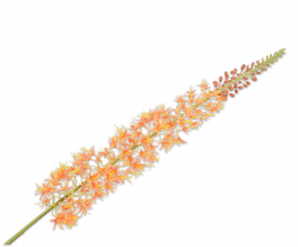 EREMURUS STEEL ORANJE 119 cm