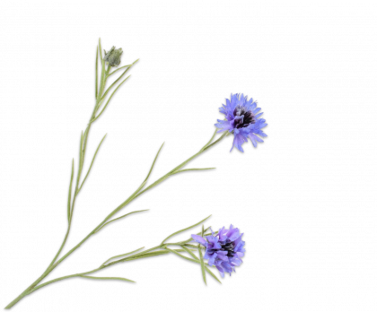 KORENBLOEM  BLAUW 65 cm