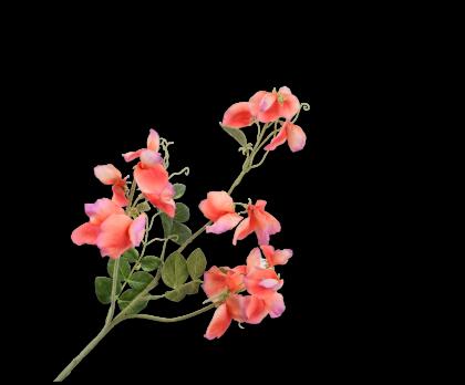 LATHYRUS TAK ORA/ROZ 73 cm