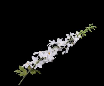 DELPHINIUM  WHITE  99 CM
