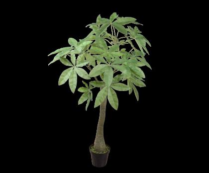 SCHEFFLERA  GREEN  162 CM
