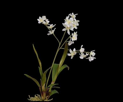 ORCHIDEE  WIT 83 cm